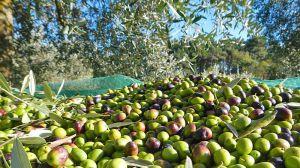 Raccolta olive Abruzzo