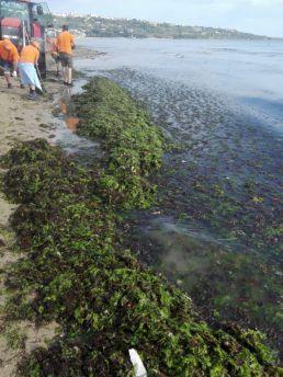 Alghe spiaggia